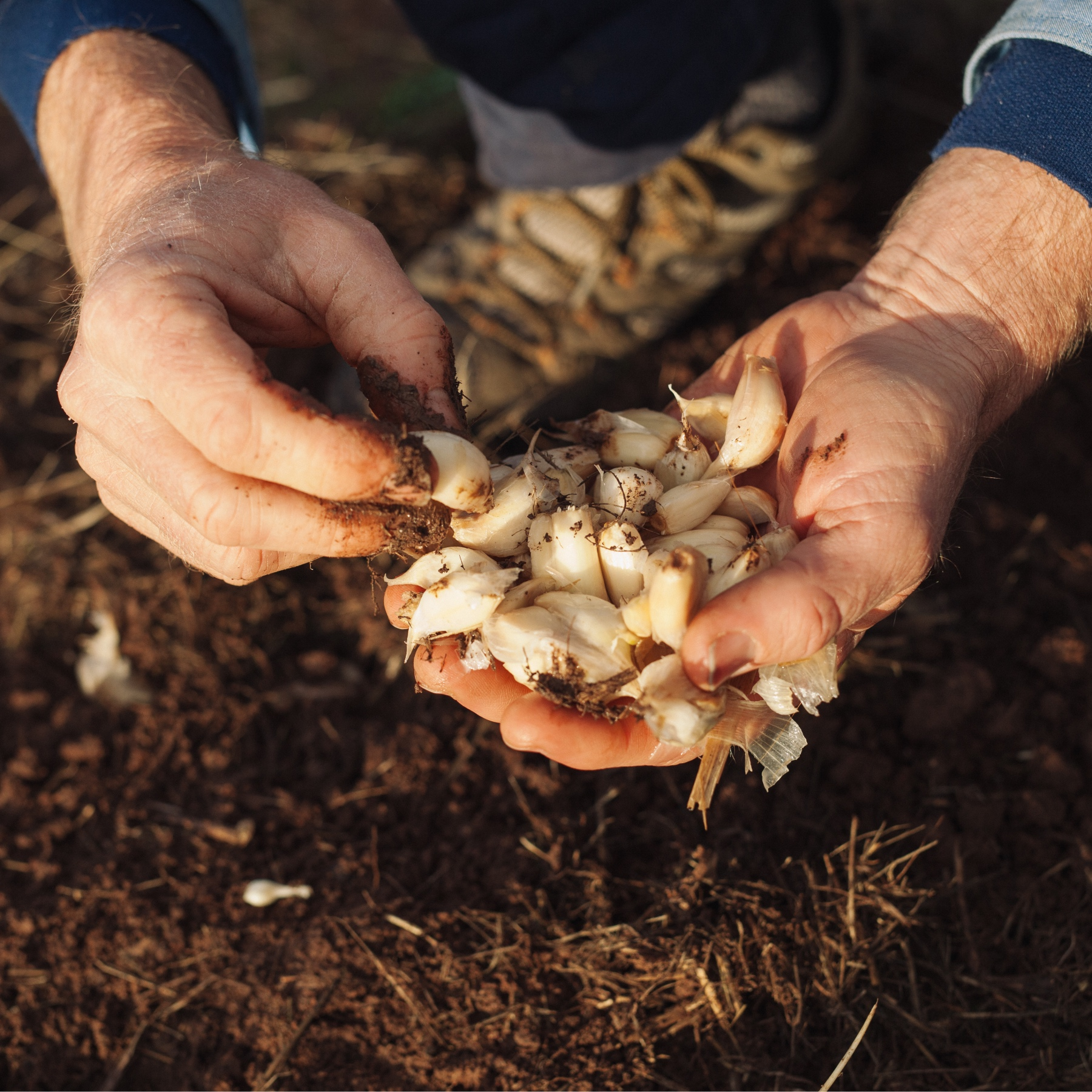 Katamatite Garlic is a family owned organic garlic farm in Katamatite, Victoria